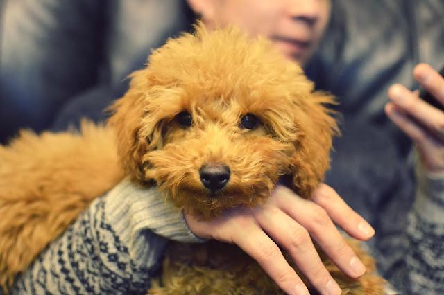 Miniature Poodle, Poodle hair cut, poodle, apricot poodle