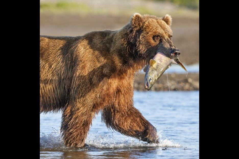 Bear with salmon in mouth