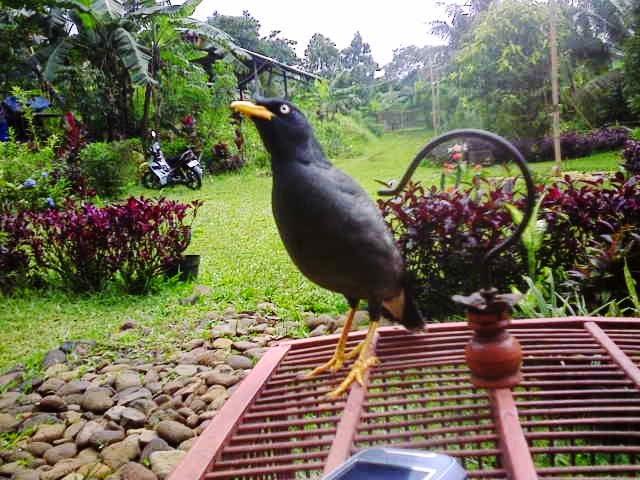 Gambar Cara Merawat Burung Jalak Hitam
