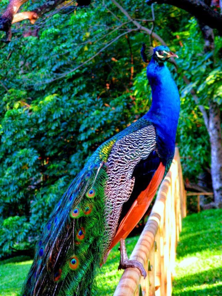 Los animales de pepilo pavo real - Fotos de un pavo real ...