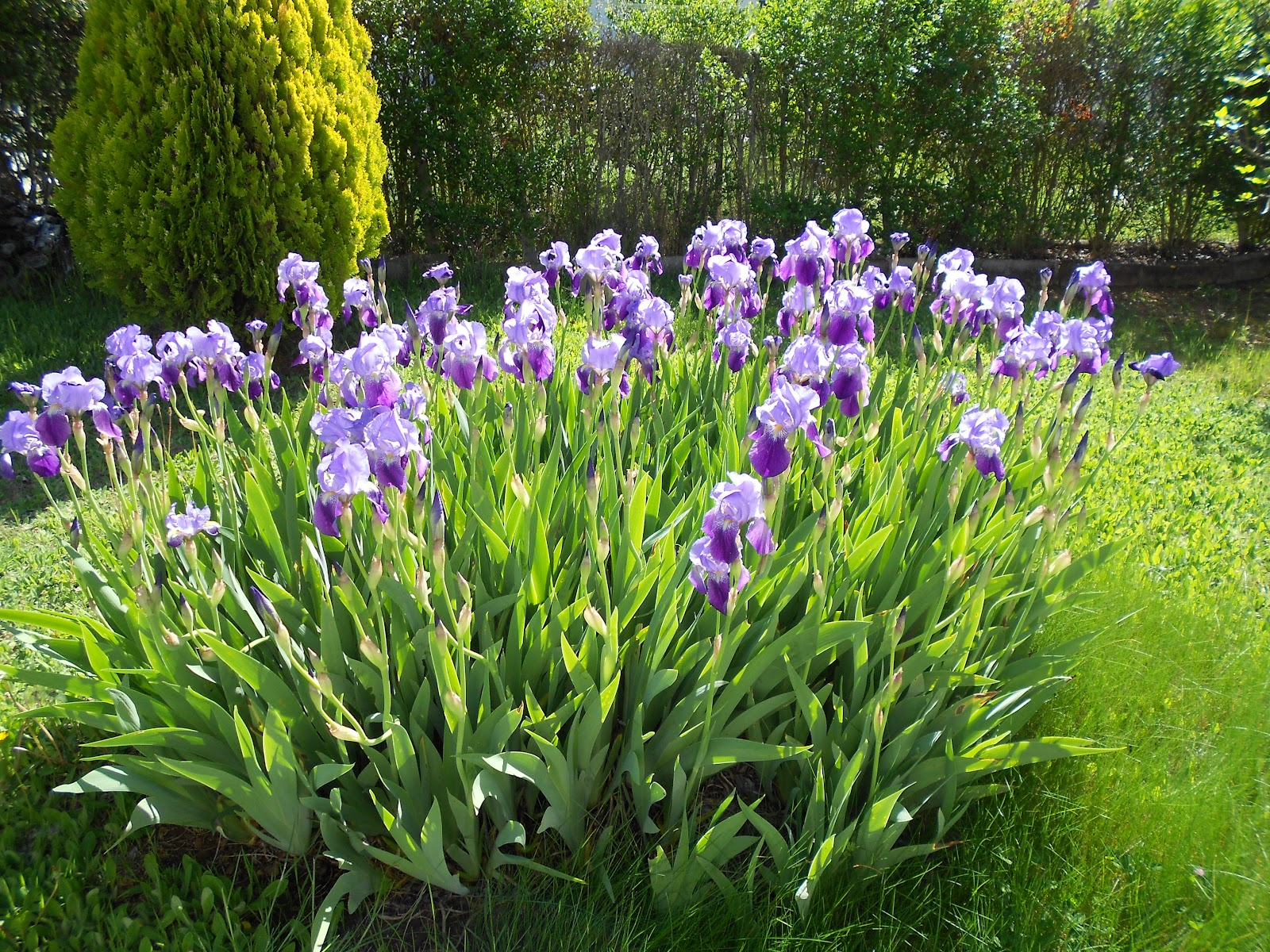 El chibiritaino la primavera de mi jard n for Plantas para mi jardin