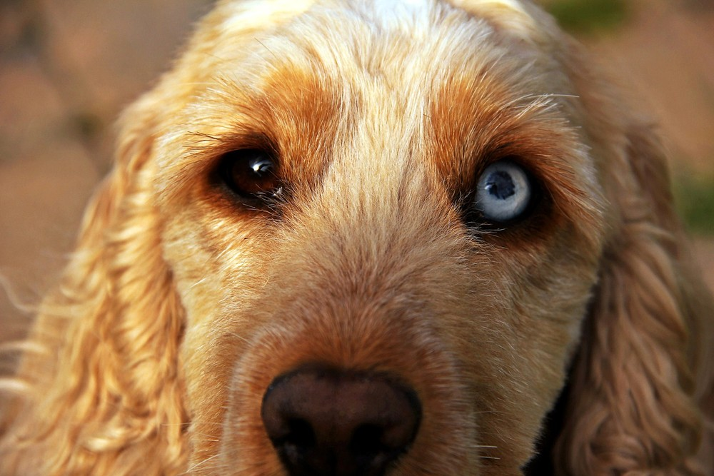 Dog Breeds With One Blue And One Brown Eye