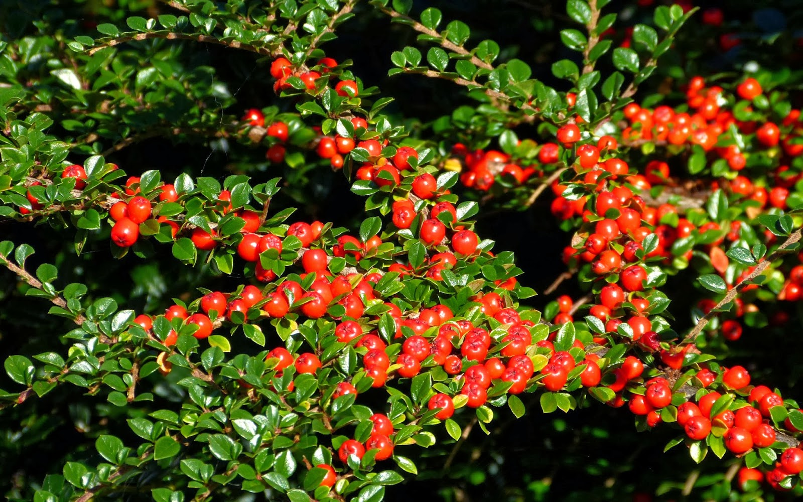 Landscaping Shrubs With Red Berries : A kilchoan diary red berries