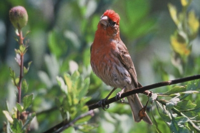 Wild birds unlimited july 2012 the house finch carpodacus mexicanus is a familiar sight in mid michigan today these 6 talkative little birds get their name from their habit of hanging publicscrutiny Gallery
