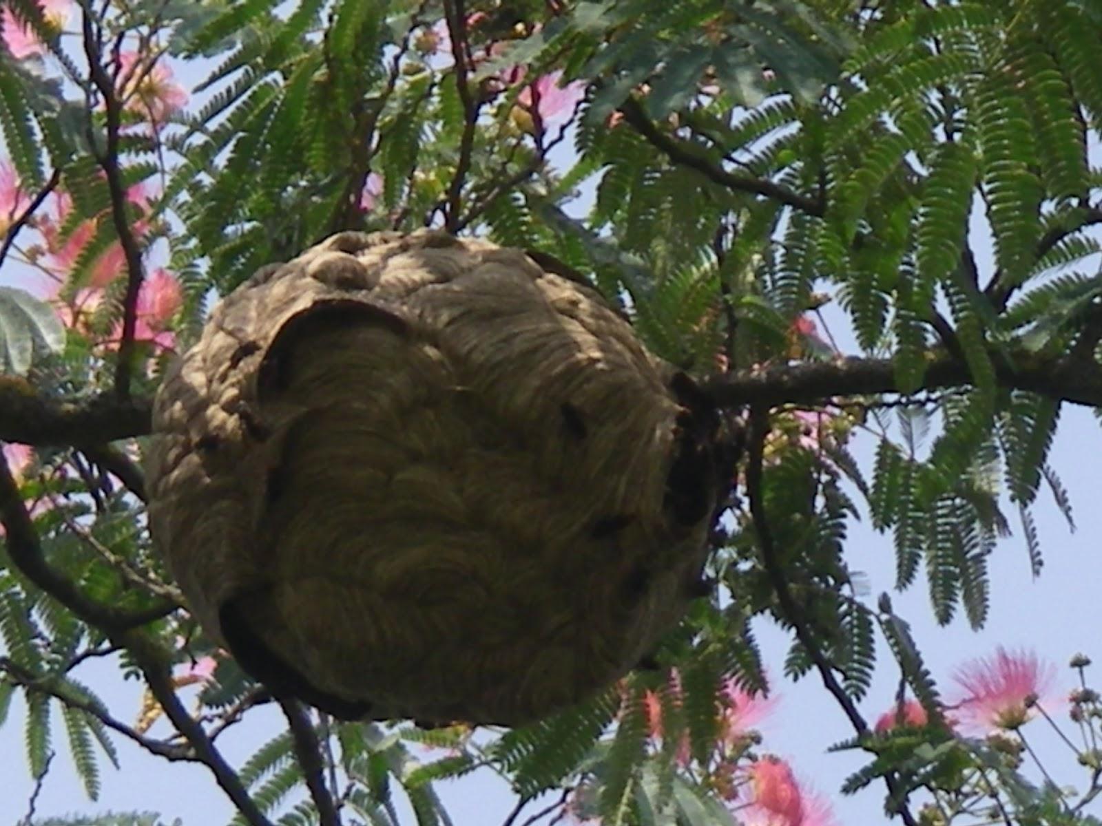 abat frelons et gu pes destruction nid de frelons asiatiques dans albizia bazet 65. Black Bedroom Furniture Sets. Home Design Ideas