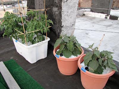 Bucolic Bushwick Rooftop Vegetable Garden 2011