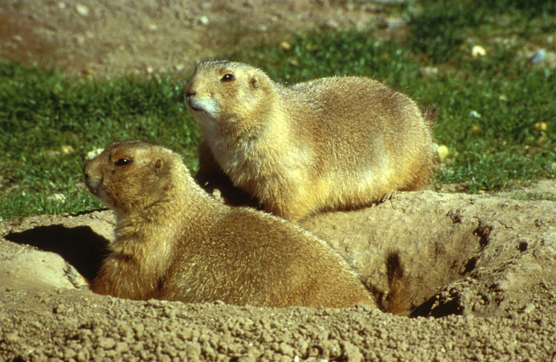 prairie dog burrow