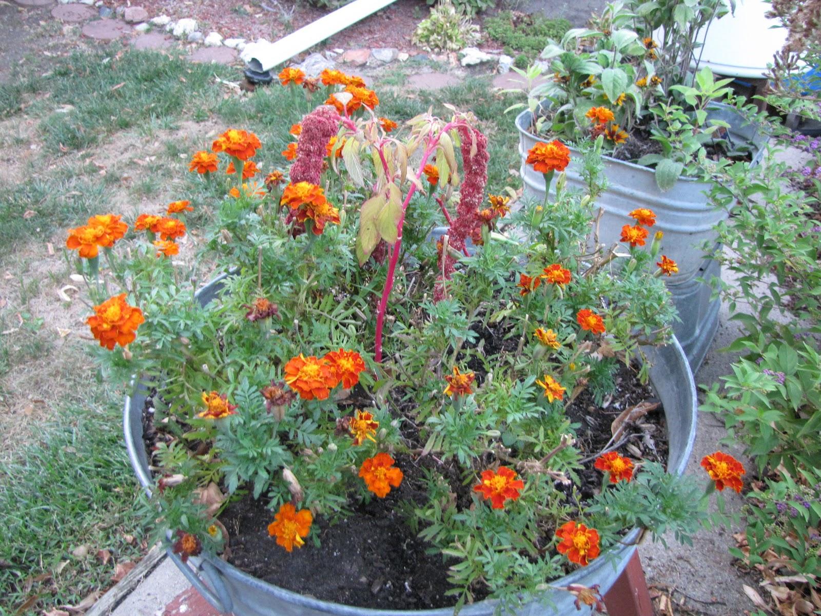 A Corner Garden Marigolds Vegetable Garden