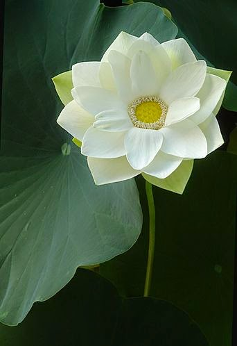 Flowers gardens lotus white lotus flower imgp1385 by bahman farzad on flickr mightylinksfo