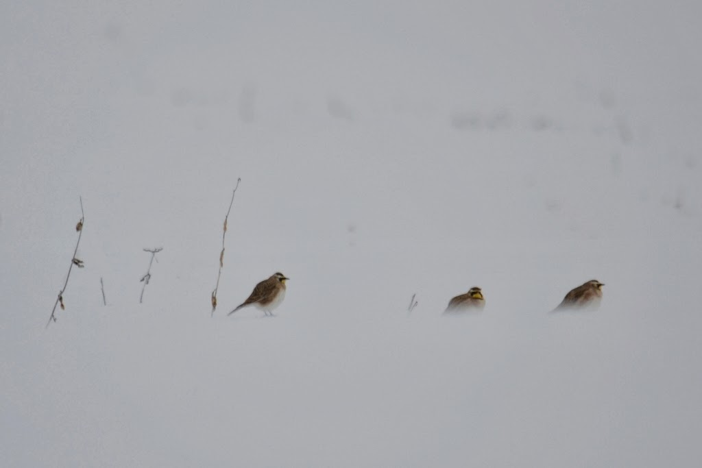 Horned Larks in the cold