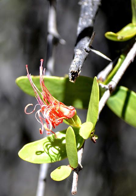 Orange flowers of succulent plant