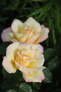 фотография белой розы в Сибири