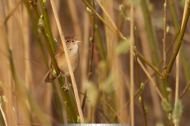 Deze Snor vindt je in het riet, en is te herkennen aan zijn karakteristieke 'snorrende'' geluid - This Savi's Warbler can be found in the reed and can be recognized by it's characteristic 'snoring' sound