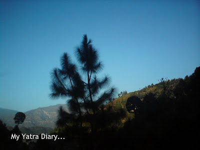 Pine tree in the Garhwal Himalayas in Uttarakhand