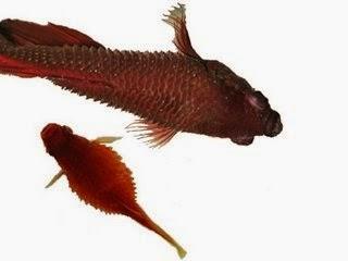 Sgbettacube betta sickness diseases for Betta fish ick