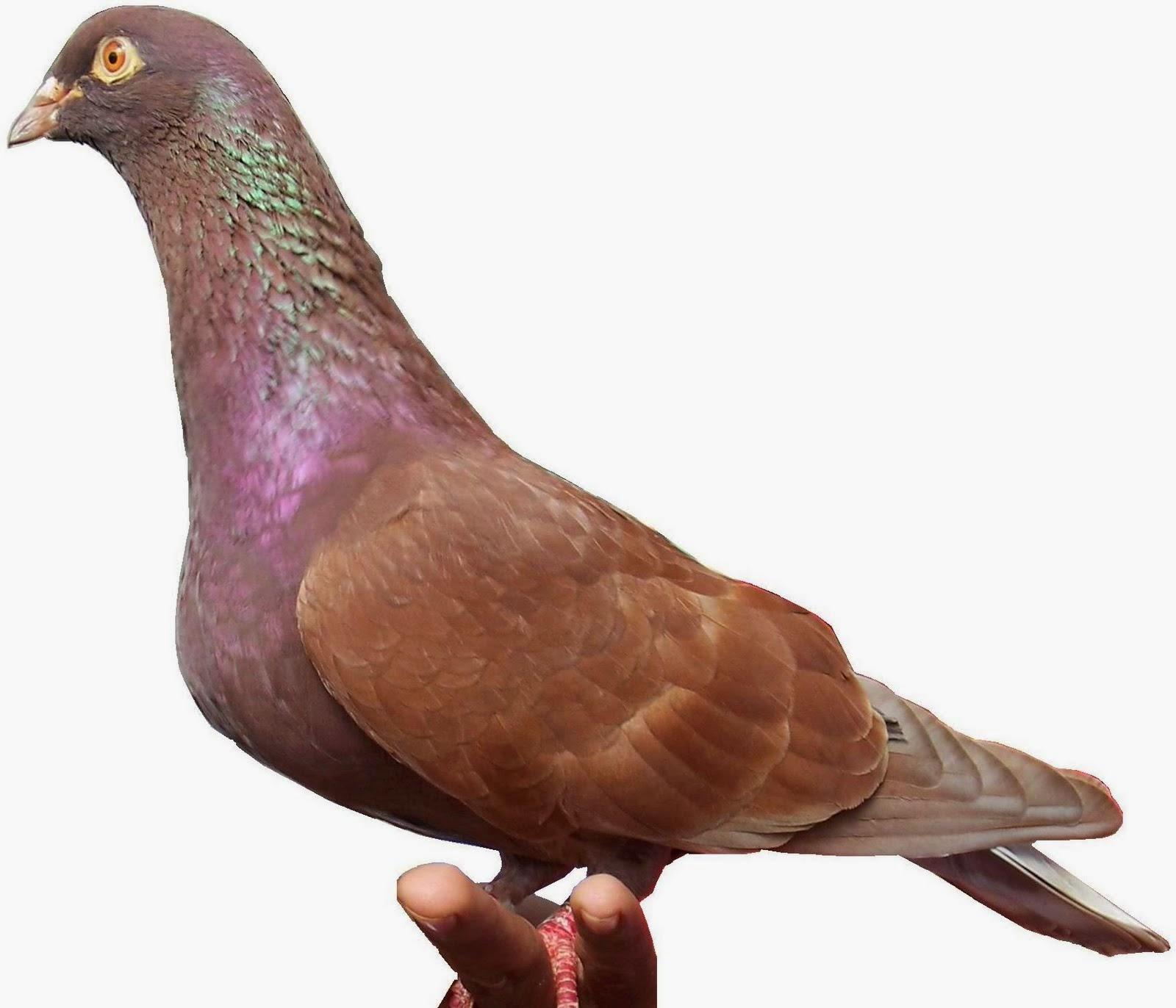 Gambar Cara Merawat Burung Merpati Balap