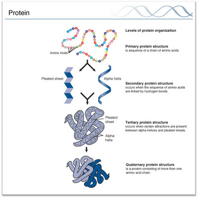 Four levels of structure in proteins