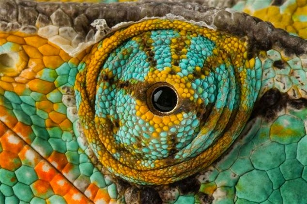 This is the close up of a chameleon eye.