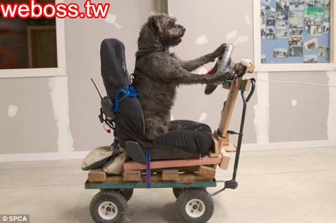 Porter會開車的狗1