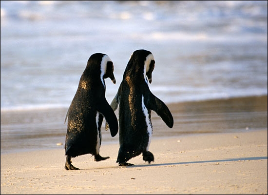 funny animals cute penguins in love