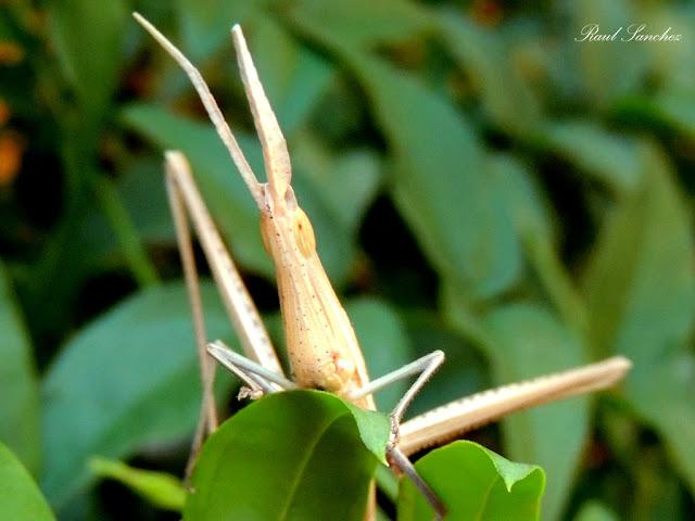 Naturaleza Viva : Saltamontes Palo - Proscopiidae-