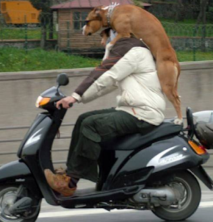 funny dog picture behind the scooter