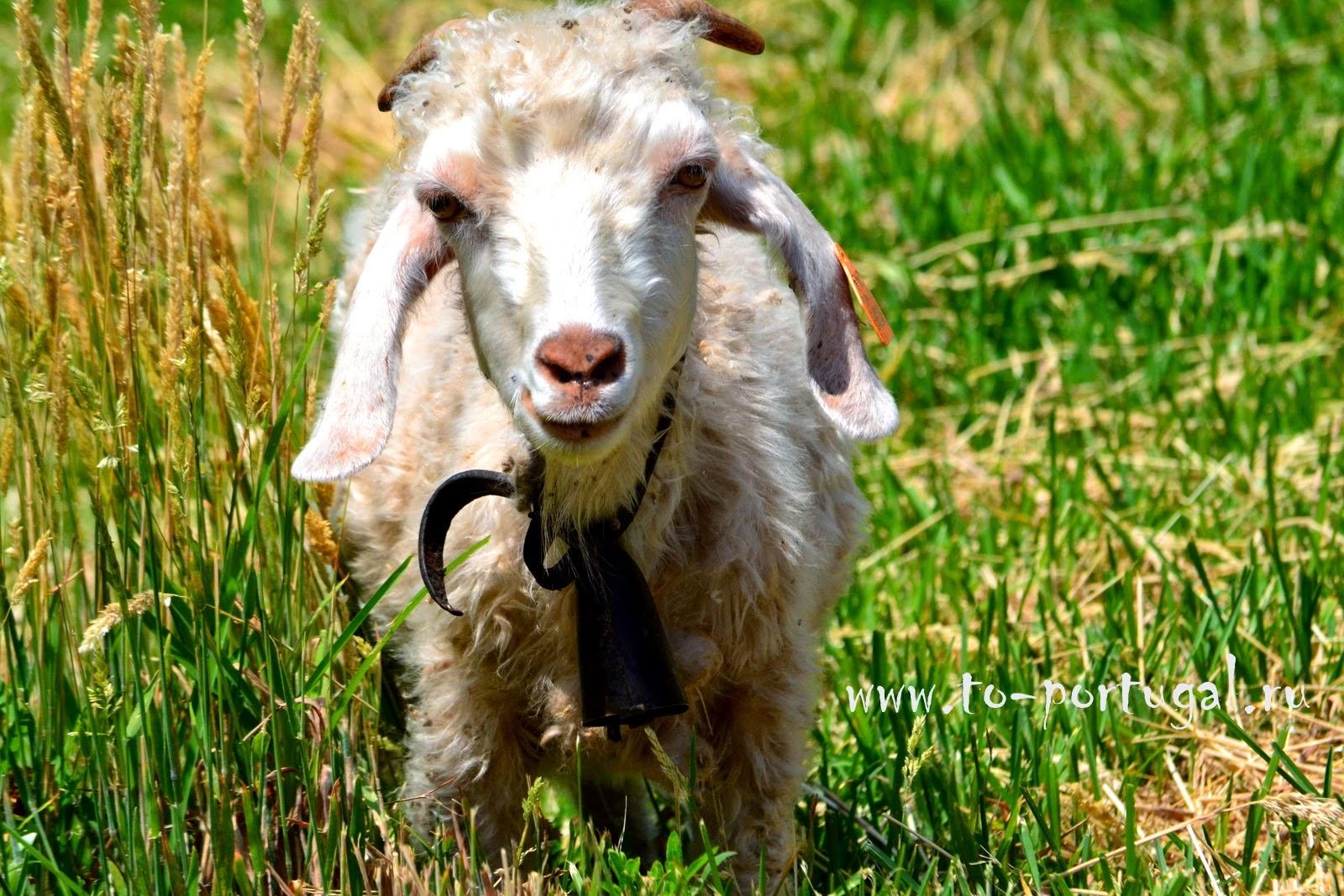 козы и овцы в Португалии