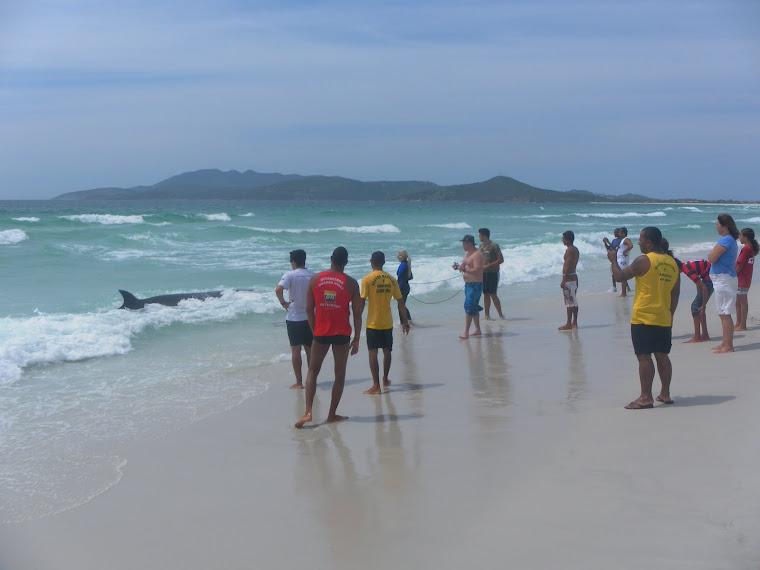 Minke-anã encalha em Cabo Frio-RJ