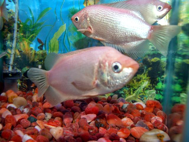 May 2011 aquarium info for Kissing gourami fish