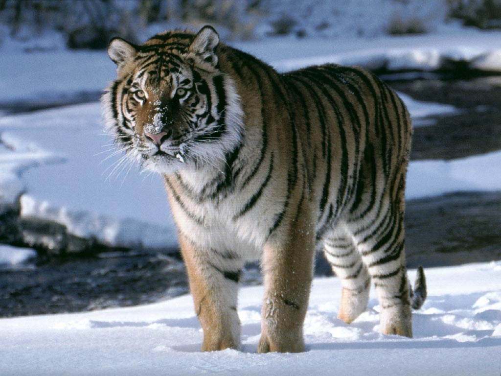 Animales en su hábitat. Tigre_siberiano-638736