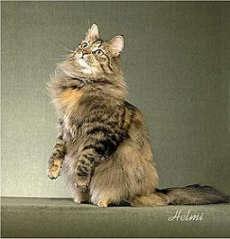 gambar kucing brown macarel tortoiseshell tabby