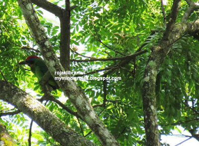 Red Crowned Barbet in Dairy Nature Farm Park