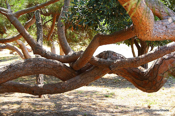 Entangled pine tree trunks
