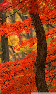 maples leave wallpaper