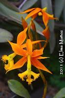 Epidendrum schomburgkii