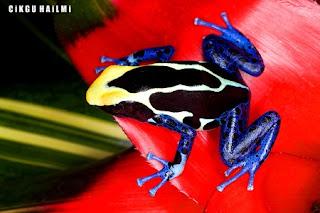 a98564 PoisonDartFrog Gambar Haiwan Paling Cantik Tapi Paling Bahaya Di Dunia