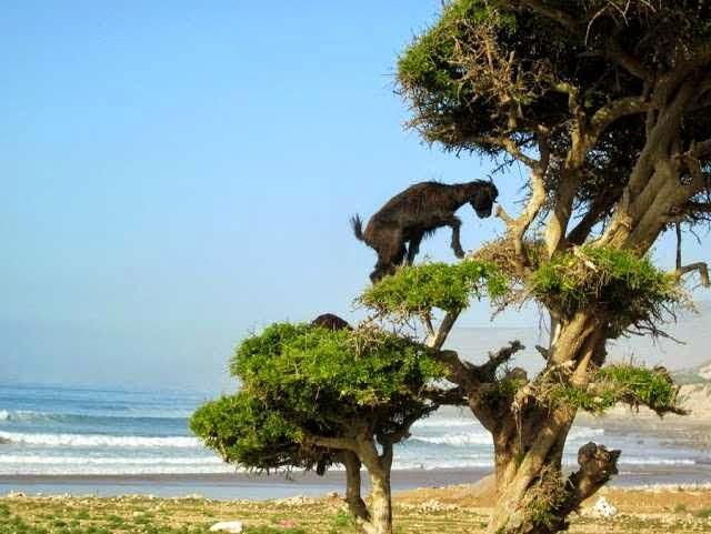 Gambar Aneh Tapi Nyata - kambing melompat ke atas pohon