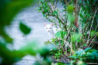 可愛又多疑的白貓(水里火車站,攝影:Bevis Lin)。