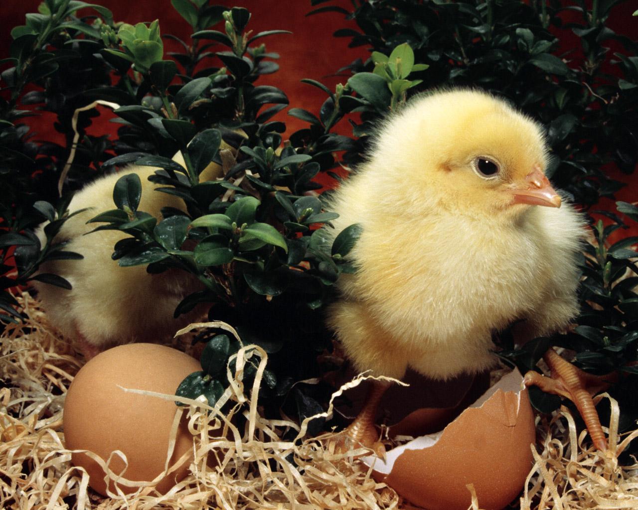 http://3.bp.blogspot.com/-nDJbH_i10EE/T2yIQuUfowI/AAAAAAAAAy8/O41OhMehNQY/s1600/Chicken_Wallpaper_06.jpg