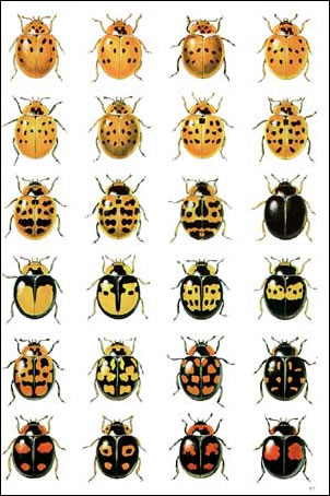 japanese beetle lifecycle