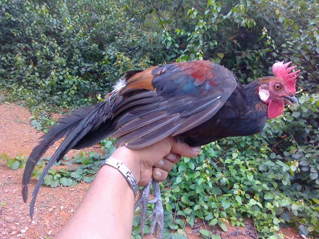 gambar ayam hutan asli - foto hewan