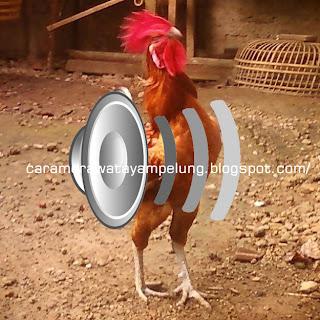 Suara Ayam Pelung