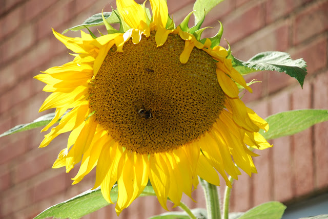 image of mature sunflower