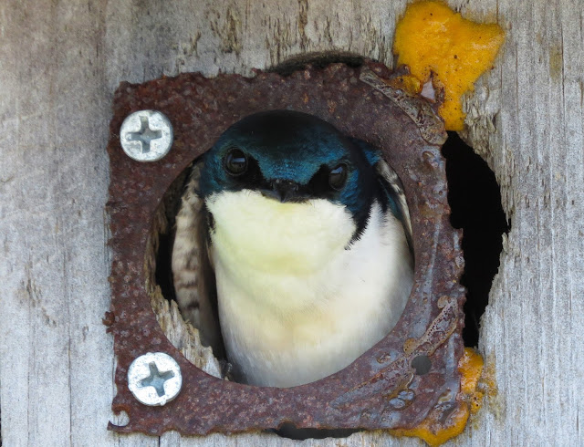 Tree Swallow - Jamaica Bay, New York