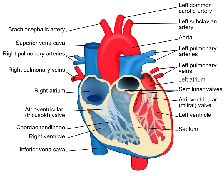 Human Heart: The Heart