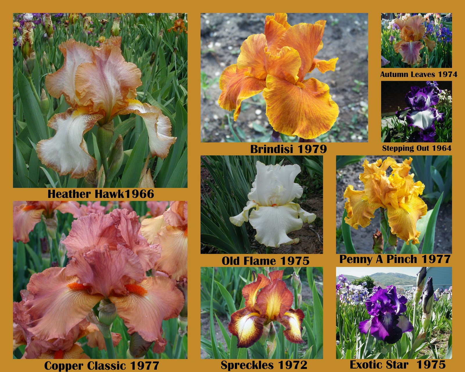 World of irises what is the difference between historic collage of historic irises from our garden izmirmasajfo