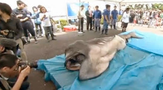 Megamouth shark caught off the coast of Japan
