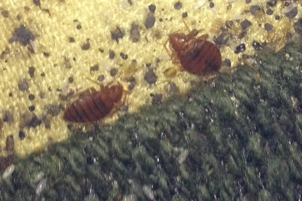 bed bugs atlanta georgia clark pest remedy