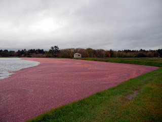 Cranberry wet harvest in Massachusetts