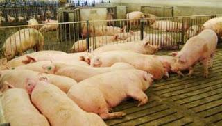 Chăn nuôi Việt Nam có chỉ số FCR cao